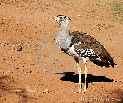 Kori Bustard, heaviest bird capable of flight