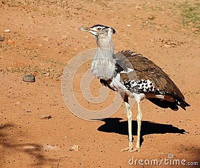 Kori Bustard, heaviest bird capable of flight