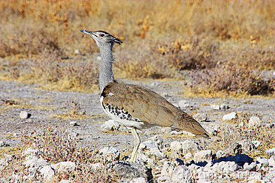 Kori Bustard - lateral view