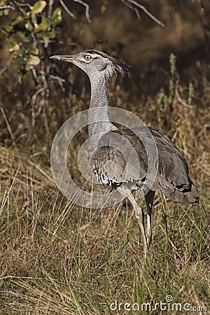 Kori Bustard - Namibia