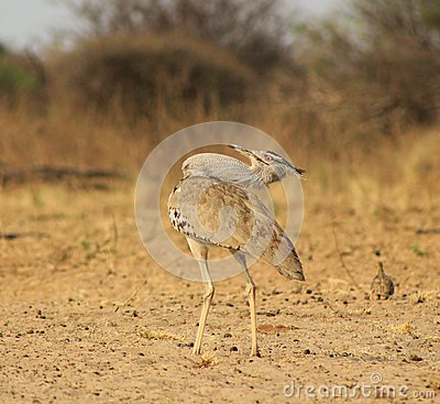 Kori Bustard - Natural Pose