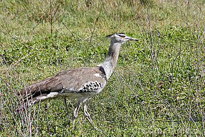 Kori Bustard Walking in the Savannah