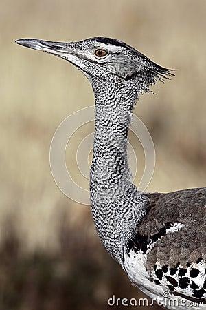 Kori bustard, the world s heaviest flying bird