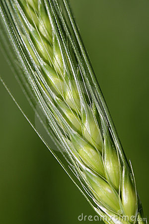 Kornstjälk