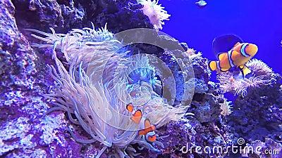 Korony ryba zdjęcie wideo