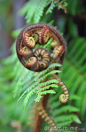 Koru Tree Fern Symbol of New Zealand
