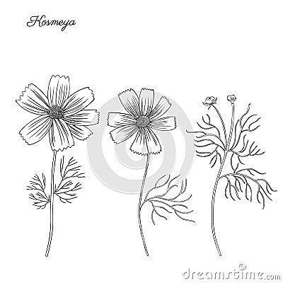 Kosmos flower, kosmeya hand drawn doodle ink sketch, botanical illustration, wild flower astra, floral design for Vector Illustration
