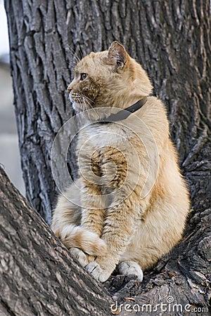 Kot czerwień