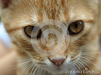 Kot czerwony orange