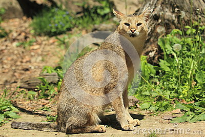 Kot dżungla