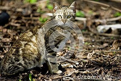 Kot dziki