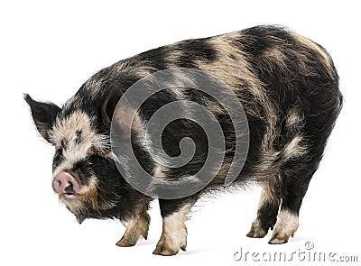 Kounini pig