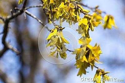 Kowhai Blooms