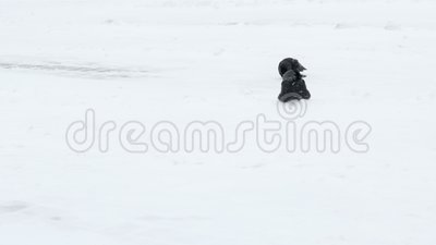 Kraai die in de sneeuw situeren Winderige Dag stock footage
