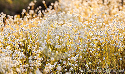Kradumngen Flower
