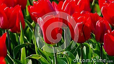 Kraftiga röda tulpaner