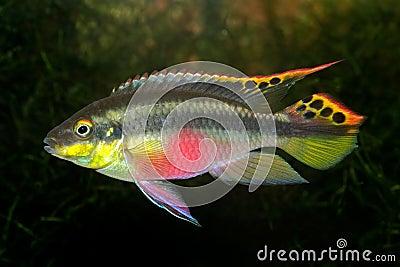 Kribensis (Purple Cichlid)