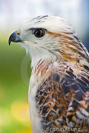Free Krider S Hawk (Buteo Jamaicensis) Profile Royalty Free Stock Photography - 1654557