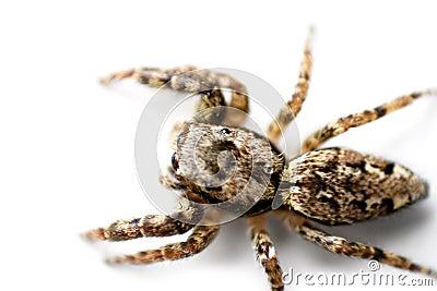 Kriechende Spinne
