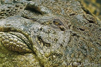 Krokodilöga