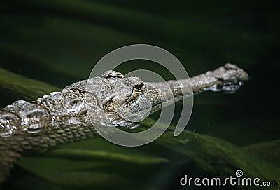 Krokodil (Fokus auf Auge)