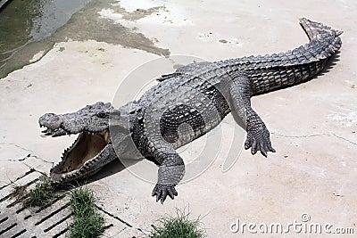 Krokodillantgård
