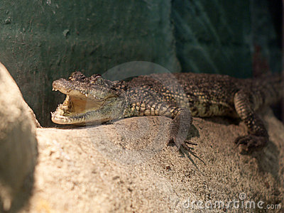 Krokodyla crocodylus morelet moreletii s