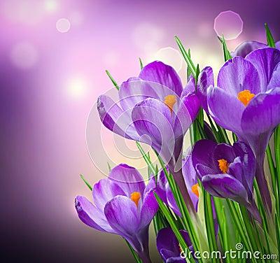 Krokus blommar fjädern