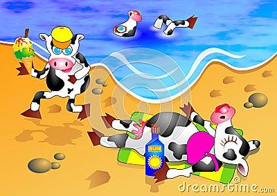 Krowy plażowych
