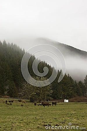 Krowy uprawiają ziemię Washington