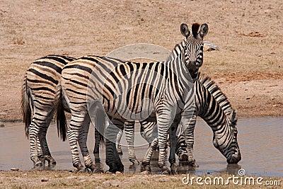 Kruger Park zebras