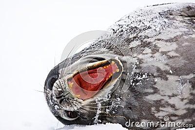 Krzycząca foka