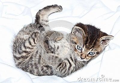 Kätzchen in der Decke