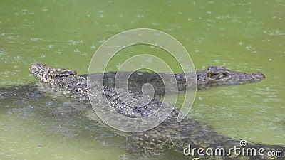 Kubańscy krokodyle zbiory wideo