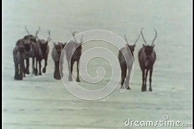 Kudde van kariboe die over ijzig terrein lopen stock video