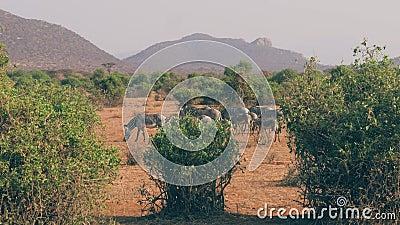 Kudde van Zebras met Baby het Weiden op de Vlakte onder de Struiken in het Droge Seizoen stock videobeelden