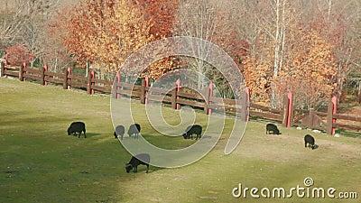 Kudde van zwarte schapen en rammen die gras op de geschermde weide weiden bij zonnige dag stock videobeelden