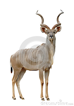 Free Kudu Stock Photos - 29754963