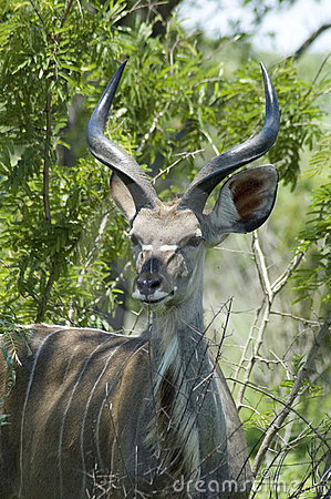 Kudu Antelope in Africa