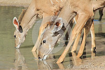 Kudu Antelope Females - African Wildlife - Quenching Thirst