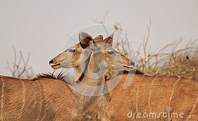 Kudu Antelope - Illusion of two-headed cow