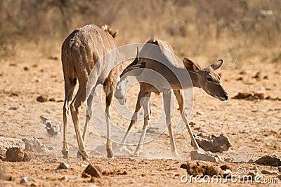 Kudu antelopes fighting