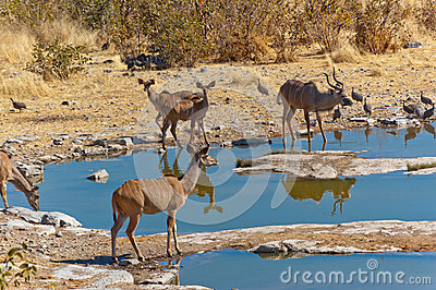 Kudu antilopes drinking