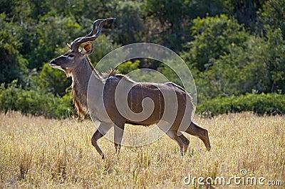 Kudu Beauty