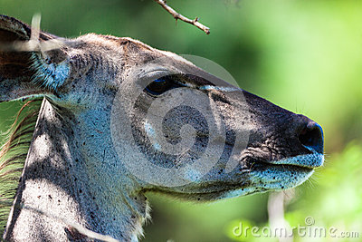 Kudu Buck Female Portrait