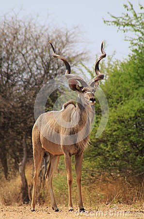 Kudu bull - Bush Contrasts
