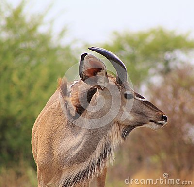 Kudu bull - Portrait of the Young