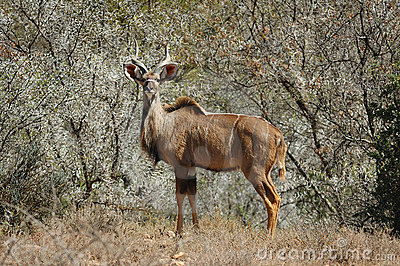 Kudu in bush-veld