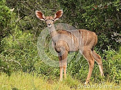 Kudu calf.