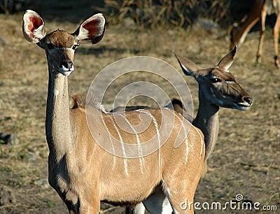 Kudu - Chobe River
